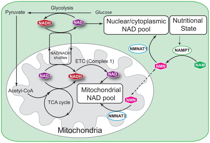 NMN increases cellular energy via Mitochondria to convert more NAD